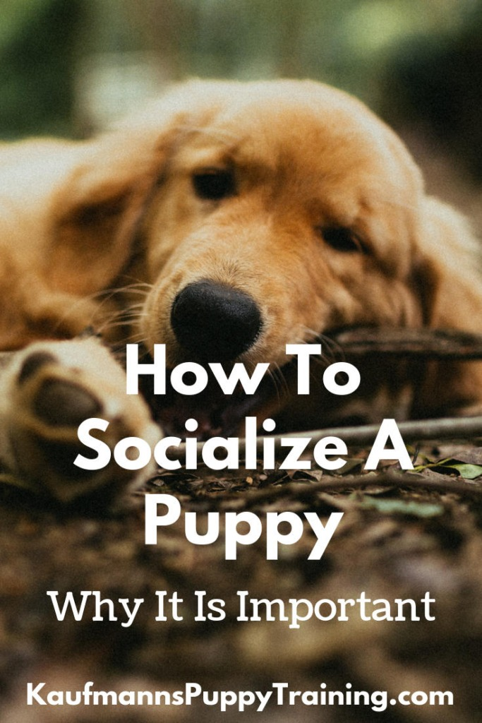 How to Socialize a Puppy and Why It is Important - Did you know the number one reason dogs under three years are put down? According to the American Veterinary Society of Animal Behavior, it is because of behavioral issues, not infectious diseases or illness. So, it goes without saying that you should make sure your puppy is obedient and trained. Read at www.KaufmannsPuppyTraining.com